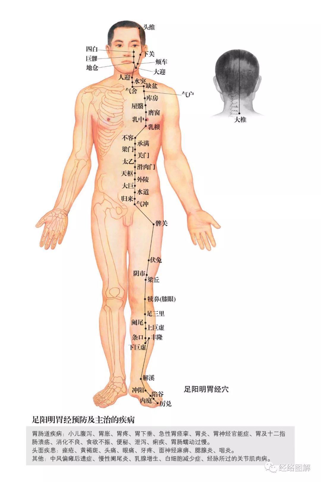 足阳明胃经——人体能量来源之本